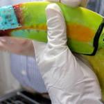 Especialistas de UVM realizan implante de pico a un Tucán con tecnología 3D, el primer procedimiento de su tipo en México