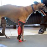Especialistas de la Universidad del Valle de México crean primera prótesis articulada en 3D para perro en México