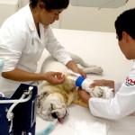 Pequeñas especies como perros y gatos, requieren de atención para no sufrir afecciones en el corazón: Dr. Fernando Flores, médico del Hospital Veterinario UVM